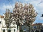Sakura Hietzing